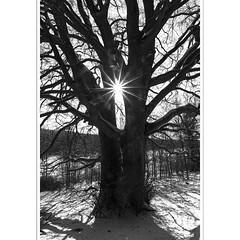 Sunburst (horstmall) Tags: baum tree arbre buche beech soleil sonne sun sunburst sonnenstrahlen sonnenstern etoile sw bw nb schwarzweis noiretblanc blackandwhite winter hiver donnstetten römerstein wiesenlau schwäbischealb jurasouabe swabianalps horstmall