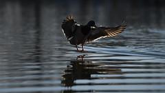 Mallard landing (4/5) (PChamaeleoMH) Tags: birds ducks clapham claphamcommon london flight landing mallards mountpond