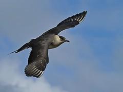 Gisela_Nagel-Fl-9807-Schmarotzerraubmöwe (giselasfotos) Tags: raubmöwe kjove schottland scotland orkney mainland grosbritannien grossbritannien orkneyinseln