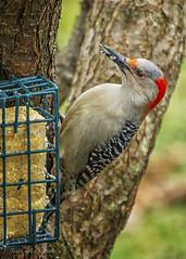 Red-Bellied Woodpecker (jmhutnik) Tags: bird woodpecker feathers suet feeder tree branch red redbelliedwoodpecker westvirginia january winter beak