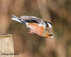 Chaffinch in flight (DougRobertson) Tags: chaffinch greylake rspb wildlife animal nature bird birdwatcher