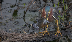 Fish for Lunch (SDRPhoto321) Tags: green heron corkscrew sanctuary florida wetlands fish night flower sky beach sunset vowel bar design home shop coth5 natural lily white great gatorland art animal bird birds birding black bright beak canon color cloud dof depth expression eye elevated eyes exposure feathers intercoastal light lands line lamp mighty nature national neck nesting outdoor odd perspective painting reflection run sunny sun sunrise tree trees wet water people