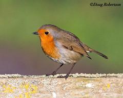Robin on Fence at Greylake (DougRobertson) Tags: greylake robin rspb wildlife animal nature bird birdwatcher