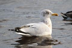 Herring Gull (Dougie Edmond) Tags: lochwinnoch scotland unitedkingdom bird nature wildlife