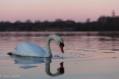Swan Lake (Simon Beedie) Tags: swan muteswan anseriformes anatidae cygnusolor attenborough attenboroughnaturereserve nottinghamshire canon canon5dsr morning water