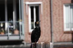 _MG_8605 (jobuelte) Tags: bird cormoran natur nature birds