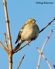 Chaffinch at Greylake (DougRobertson) Tags: chaffinch wildlife animal nature bird birdwatcher greylake rspb tree