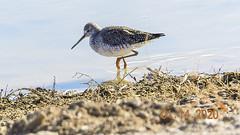 Patsy Clicks - Bosque 1:14:20 (phicks172) Tags: patsyclicksbosque11420 dscn7589edit bosquedelapache patsysclicks shorebird bird greateryellowleg nature newmexico usa