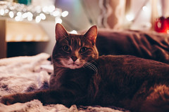 cosmo (viewsfromthe519) Tags: cat cute animal pet bokeh lights comfy costy cozy bed cuddly
