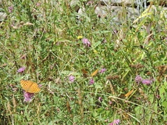 DSCN1625 (Gianluigi Roda / Photographer) Tags: summer august 2013 apennines prati fiori farfalle flora fauna meadows flowers wildflowers butterflies