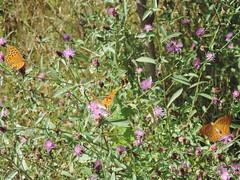 DSCN1621 (Gianluigi Roda / Photographer) Tags: summer august 2013 apennines prati fiori farfalle flora fauna meadows flowers wildflowers butterflies