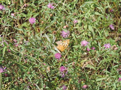 DSCN1620 (Gianluigi Roda / Photographer) Tags: summer august 2013 apennines prati fiori farfalle flora fauna meadows flowers wildflowers butterflies