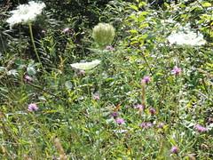 DSCN1617 (Gianluigi Roda / Photographer) Tags: summer august 2013 apennines prati fiori farfalle flora fauna meadows flowers wildflowers butterflies