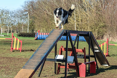 Dog Days! (sharongellyroo) Tags: dodge rescue glemsford bordercollie suffolk aceagility