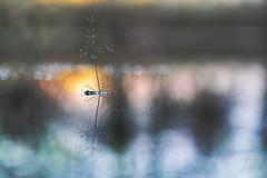 De zon komt op. / Sunrise. (look to see) Tags: waterweegbree sunrise zonsopkomst mood stemming ochtendstemming bokeh bokehlicious pastel pastels kleur color vintagelens iscoteleiscaron180mmf28 sintmaartensheide beek bree belgium winter koud cold 2020