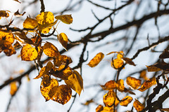 Photo of Golden Leaves