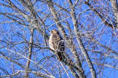 arcadia2020-107 (gtxjimmy) Tags: nikon tamron z50 150600mm arcadiawildlifesanctuary nikonz50 bird massachusetts newengland audubon massaudubon hawk raptor birdofprey