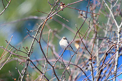arcadia2020-103 (gtxjimmy) Tags: nikonz50 nikon z50 tamron 150600mm arcadiawildlifesanctuary massaudubon audubon bird massachusetts newengland finch housefinch