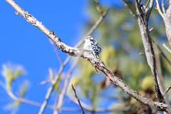 arcadia2020-100 (gtxjimmy) Tags: nikonz50 nikon z50 tamron 150600mm arcadiawildlifesanctuary massaudubon audubon bird massachusetts newengland woodpecker
