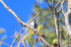 arcadia2020-99 (gtxjimmy) Tags: nikonz50 nikon z50 tamron 150600mm arcadiawildlifesanctuary massaudubon audubon bird massachusetts newengland woodpecker