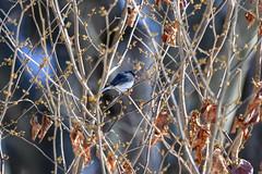 arcadia2020-98 (gtxjimmy) Tags: nikonz50 nikon z50 tamron 150600mm arcadiawildlifesanctuary massaudubon audubon bird massachusetts newengland darkeyedjunco