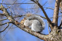 arcadia2020-96 (gtxjimmy) Tags: nikonz50 nikon z50 tamron 150600mm arcadiawildlifesanctuary massaudubon audubon bird massachusetts newengland squirrel