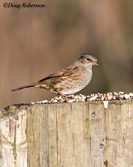 Dunnock at Greylake (DougRobertson) Tags: greylake rspb dunnock bird birdwatcher wildlife animal nature