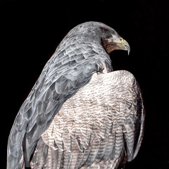 Bird of prey / Greifvogel (berndkru) Tags: kamera leicadg50200f2840 objektiv panasonicdcg9 poing wildpark wildlifepark birdofprey greifvogel vögel birds tiere animals