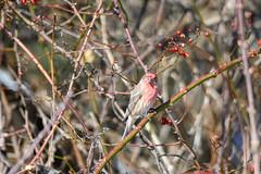 arcadia2020-112 (gtxjimmy) Tags: nikonz50 nikon z50 tamron 150600mm arcadiawildlifesanctuary massaudubon audubon bird massachusetts newengland finch housefinch