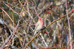 arcadia2020-109 (gtxjimmy) Tags: nikonz50 nikon z50 tamron 150600mm arcadiawildlifesanctuary massaudubon audubon bird massachusetts newengland finch housefinch