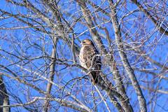 arcadia2020-108 (gtxjimmy) Tags: nikonz50 nikon z50 tamron 150600mm arcadiawildlifesanctuary massaudubon audubon bird massachusetts newengland raptor birdofprey hawk