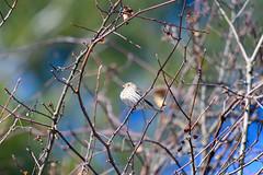 arcadia2020-102 (gtxjimmy) Tags: nikonz50 nikon z50 tamron 150600mm arcadiawildlifesanctuary massaudubon audubon bird massachusetts newengland finch housefinch