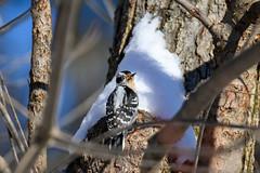 arcadia2020-97 (gtxjimmy) Tags: nikonz50 nikon z50 tamron 150600mm arcadiawildlifesanctuary massaudubon audubon bird massachusetts newengland woodpecker