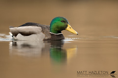 Mallard (Matt Hazleton) Tags: wildlife nature animal outdoor bird cornwall canon canoneos7dmk2 canon500mm eos 7dmk2 500mm matthazleton matthazphoto mallard anasplatyrhynchos duck wildfowl water waterfowl waterbird