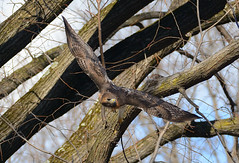 George (Hawker Tahj) Tags: george adult red tailed hawk central park nyc manhattan