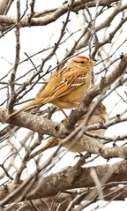 Sparrows (tonyvegaram) Tags: sparrow birds wildlife wildanimals wildbirds photo closeup branches nikon d5300 140mm