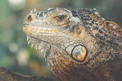 Leguan (michel1276) Tags: leguan reptilien reptile reptiles reptil terrazoo animal animals tiere tier