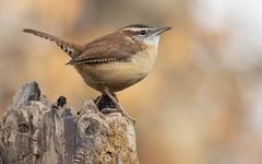 Stump Master (Randy E. Crisp) Tags: carolinawren smallbird stump tree master paristexas brown cute