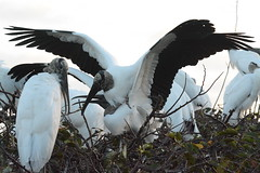 KEEPING DISCRETION (concep1941) Tags: birds woodstork storkfamily lagoons marshes