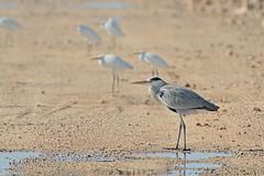 Herons (Hatsofe B) Tags: herons manualfocus rawtherapee thebeautyofnature natureandnothingelse
