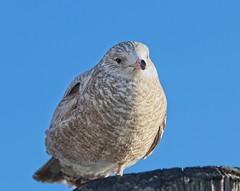 (Goggla) Tags: batterypark gull nyc new york manhattan urban wildlife bird shorebird immature