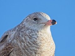 (Goggla) Tags: batterypark gull nyc new york manhattan urban wildlife bird shorebird immature portrait