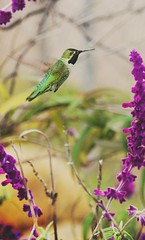 GreenBird (tonyvegaram) Tags: hummingbird birds wildlife wildbirds wildanimals wings panasonic lumixfz1000 botany