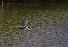 Yellow-crowned night heron (Mike_FL) Tags: yellowcrownednightheron nikon nikond7500 nature bird florida floridawildlife floridabirdingtrail tamron100400 mikesphotography photograph park image