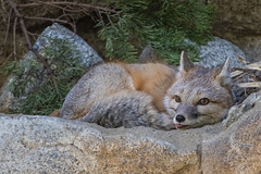 Swift Fox Going to Sleep (SCSQ4) Tags: california cozy cute favorite favoritepicture fox foxy karenschuenemann livingdesert nap naptime palmdesert photographyworkshop resting sleep sleeping snuggle swiftfox thelivingdesert tuttlecameras wildlifephotographyworkshop zoo
