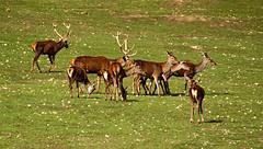 ALDEA DEL FRESNO MADRID 0025 1-11-2019 (Jose Javier Martin Espartosa) Tags: aldeadelfresno ciervos comunidaddemadrid españa spain