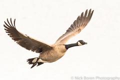 The Honker (Nick Boren Photography) Tags: goose geese wildlife cheadle lake oregon nikkor lens nickborenphotography bird flight fly honker honk canadian