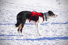 DSC03621P (vladm2007) Tags: dog fernie alpine resort bc canada