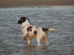 A springer impersonating a pointer! (Happy Snapper 61) Tags: samson englishspringerspaniel spaniel dog water beach seaside