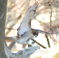George attempting to pull a squirrel out of a tree hole (Hawker Tahj) Tags: george adult red tailed hawk central park nyc manhattan